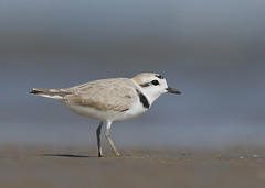 Snowy Plover (Birding the day Away !!) Tags: snowyplover charadriusalexandrinus wader bolivarflats bolivarpeninsula texas unitedstates michaelsouthcott