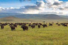 Cape Buffalo in Ngorongoro Crater, Tanzania (Jill Clardy) Tags: africa tanzania vantagetravel safari 201902214b4a0761 cape buffalo crater ngorongoro caldera national park grassland grassy plains clouds dawn