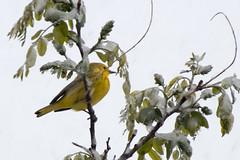 Snow and Yellow Bird (Anna Gurule) Tags: snow birds yellow white green artedgy annagurule annaortizgurule littleyellowbird yellowbird nature