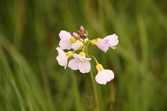 Cuckoo flower (worldthroughalens74) Tags: cuckoo flower ladys smock uk england nature outdoors wildflower spring staffs canon sigma