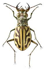 Lophyra capensis (dries.marais) Tags: coleoptera carabidae cicindelinae cicindelini lophyra capensis