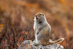 Arctic Ground Squirrel (Dan King Alaskan Photography) Tags: arcticgroundsquirrel urocitellusparryii squirrel denalinationalpark alaska wildlife autumn fallcolors preservewilderness protectwildlife canon50d sigma80400mm