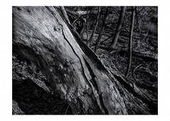 Fallen tree along Clyde Avenue Creek (Richard C. Johnson: AKA fishwrapcomix) Tags: panasonic lumixg9 20mmf17 blackandwhite bw monochrome landscape outdoor trees creek thelandunloved theuntendedgarden rivervalley edwaedwestonmodernism hires saintlouisriver decay hwy23 clydeavenue duluth minnesota icamesofarforbeauty sictransitgloriamundi may spring