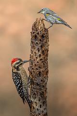 woody and the warbler (Eric Gofreed) Tags: arizona audubonsyellowrumpedwarbler ladderbackedwoodpecker mybackyard sedona