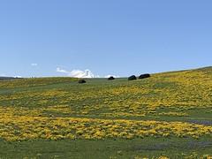 Spectacular Wildflower Display (rooftop65) Tags: foursisterrocks arrowleafbalsamroot mthood