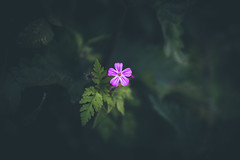 130/365 - Herb Robert (Forty-9) Tags: canon eos6d eflens ef2470mmf28liiusm lightroom tomoskay forty9 project365 365 2019 3652019 project3652019 day130 130365 may 10thmay2019 10052019 photoaday friday flower herbrobert pink