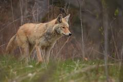 Eastern Coyote (Rob E Twoo) Tags: explore toronto naturaleza canada nature wildlife