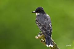 Eastern Kingbird (jt893x) Tags: 150600mm bird breeding d500 easternkingbird flycatcher jt893x kingbird nikon nikond500 sigma sigma150600mmf563dgoshsms songbird tyrannustyrannus thesunshinegroup coth alittlebeauty coth5 ngc