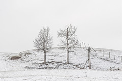 2-1/2 trees and a fence (bernieboutin) Tags: springsnow transitionfromwintertospring trees field agricultural monochromaticcolour composition texture spring lamont county