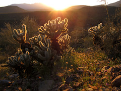 Glow (zoniedude1) Tags: arizona desert sunset cactus sunsetview landscape cholla glow teddybearcholla opuntiabigelovii native flora azdesert wildoutback sky pricklysunset pronouncedchoyuh sharp prickly dangerous sonorandesert sundown fourpeaks silhouettes light illumination gilacounty tontonationalforest tontobasin desertspring2019 2920ftelevation inthewild armergulchexpedition2019 outdoors hiking exploration discovery closeup detail macro southwest nature spring outinthewild az beauty canonpowershotg12 pspx19 zoniedude1 earthnaturelife