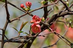 Ast-Kreuzung mit Blüte (Sockenhummel) Tags: blüten volksparkwilmersdorf zierquitte strauch gebüsch blüte orange äste kreuzung park volkspark fuji xt10