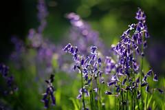Bluebells (PJ Swan) Tags: flowers bluebells great high woods durham england blue