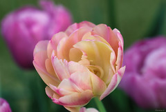 tulips (Christine_S.) Tags: canon m5 flowers spring colorful bright pretty mirrorless ef100mm japan nature garden eos tulip ngc npc