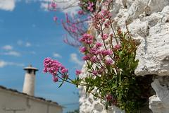 Centranthus  y Anthirrhinum en los muros (Lucas Gutiérrez) Tags: centranthus anthirrhinumbarrilieri floradelosmuros atalbéitar rutamedieval laalpujarra granadanatural
