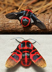 """""""LADIES and GENTLEMEN, BOYS and GIRLS!"""" - """"Red Cicada"""" Picture-winged Leaf Moths (Glanycus insolitus, Thyrididae) (John Horstman (itchydogimages, SINOBUG)) Tags: insect macro china yunnan itchydogimages sinobug entomology collage mosaic moth lepidoptera thyrididae boysandgirls glanycus insolitus glanycusinsolitus tweet topf25"""