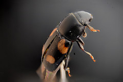 Glischrochilus quadripunctatus (Bas Schouten Almere) Tags: glischrochilus quadripunctatus focus stacking insect extreme macro nikon d610 rail