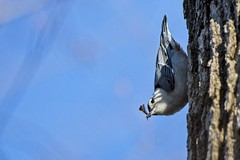 I ain't no vegetarian (Chi Ken Yeung) Tags: whitebreastednuthatch lamoreauxnorthpark nikond500 tamronsp150600mmf563divcusdg2