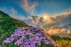 合歡山●玉山杜鵑雲海夕彩   Taiwan Alpine Rhododendron Sunset (Shang-fu Dai) Tags: taiwan 台灣 合歡山 仁愛 雲海 南投縣 mthehuan canon1635mmf28 sonya7r2 sunset sun landscape 夕陽 formosa 雲 山 日落 風景 天空 杜鵑 樹 森林 杜鵑花 玉山杜鵑 合歡主峰 主峰 高山杜鵑 alpinerhododendron 3416m 3417m happyplanet asiafavorites bestcapturesaoi elitegalleryaoi