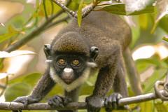 CERCOPITECO NASOBIANCO   --- GREATER SPOT-NOSED MONKE (Ezio Donati is ) Tags: animali animals natura nature alberi trees foresta forest fiume river westafrica cosradavorio sanpedroarea laneroriverarea