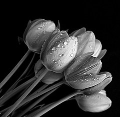 drops (majka44) Tags: drops tulip blackandwhite macro light water blackwhite biancoenero flowers monochrome elegant 2019 art bw
