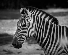 Zebra -  Equus quagga (N3ptun0) Tags: animal animals burchellszebra equine equino equusquagga mammal mammalia miami nature plainszebra zebra zoo zoomiami commonzebra
