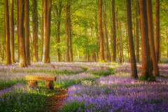 A Little Bit of Heaven (Rich Walker Photography) Tags: wood woodland devon plymouth dartmoor canon england efs1585mmisusm eos eos80d landscape landscapes landscapephotography bench tree trees bluebell bluebells flower flowers