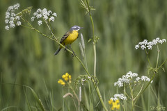 Yellow Wagtail - Gele Kwikstaart (Thijs de Bruin) Tags: yellow geel gelekwikstaart yellowwagtail nature birds natuur green groen