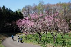 梅まつり (原田夏希) Tags: 梅まつり 札幌市 平岡公園 梅 桜 sapporo