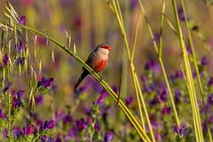 Common Waxbill - Bico-de-lacre - Estrilda astrild (www.craigrogers.photography) Tags: bird waxbill aves portugal algarve