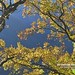 20190506-DAO_0200 秋天楓樹葉子的色彩