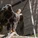 golden eagle - Cleveland Museum of Natural History