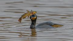 """Toss lightly before serving"" (Paul McGoveran) Tags: bird cormorant hendrievalley nature nikon500mmf4 nikond850 coth5 ngc"