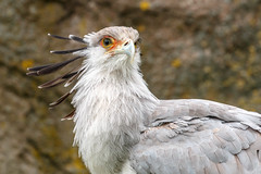 Secretarisvogel (Secretary bird) (Rini Hemelop) Tags: natuur vogels roofvogels secretarisvogel aalscholver gier meeuw reiger
