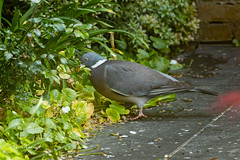 Common Wood Pigeon | Houtduif (Leo Kramp) Tags: tuin dieren houtduif achtertuin waddinxveen wwwleokrampfotografienl leokrampfotografie vogels photography plaatsen natuurfotografie nederland 2019 jancampertlaan animals backyard birds columbapalumbus commonwoodpigeon naturephotography netherlands places