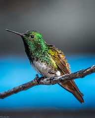 About to take off (Fred Roe) Tags: nikond7100 nikonafsnikkor200500mm156eed nature naturephotography national wildlife wildlifephotography animals birds birding birdwatching birdwatcher hummingbird snowybelliedhummingbird amaziliaedward colors outside feet flickr panama