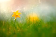 I in you (Ans van de Sluis) Tags: 2019 ansvandesluis blossom bokehlicious botanic botanical colours daffodil flora floral flower leaf leaves macro march narcissus nature red