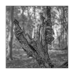 Roots (K.Pihl) Tags: rolleiflex35e rodinal1100 monochrome ilfordhp5 nature planar75mmrolleiflex standdevelopment pellicolaanalogica schwarzweiss bw blackwhite film analog