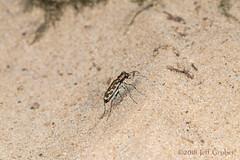 Tiger Beetle (jgruber111) Tags: cicindelinae carabidae coleoptera insect macro entomology
