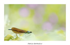 Premier calo de l'année . (bertholino fabrice) Tags: fabricebertholino calopteryx libellule odonate pano pastel nature macro environnement biodiversité proxy sigma105macrooshsm nikon printemps