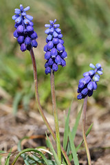 Common Grape Hyacinth (Wild Chroma) Tags: muscari botryoides muscaribotryoides flora sweden asparagales monocots asparagaceae grapehyacinth grape hyacinth