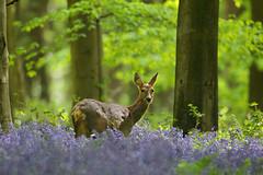 Roe Deer in Bluebell Woodland (Alan MacKenzie) Tags: roedeer deer doe bluebells wildlife nature forest micheldever hampshire deerbluebells