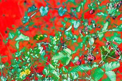 Strawberry Fields (psychedelic world) Tags: strawberries erdbeeren feld field felder fields pflanzen plants garden garten blätter leaves blumen flowers blossoms blüten fruits früchte rot red green grün gras grass gräser nature natur outdoor meadow wiese psychedelicworld psychedelic psychedelisch