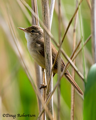 Reed Warbler at RSPB Ham Wall (DougRobertson) Tags: cettiswarbler wildlife animal nature bird birdwatcher hamwall rspb