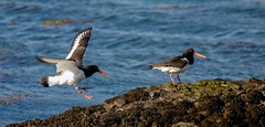 Oystercatchers (haroldmoses) Tags: 2y3a01311 flickrbirds