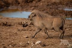 Warthog (fascinationwildlife) Tags: animal mammal water warthog warzenschwein hole wild wildlife nature natur national park addo elephant south africa südafrika eastern cape summer sanparks