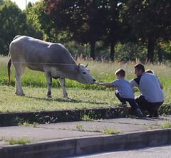 Cordialità... (giuselogra) Tags: children animali animals torino turin piedmont piemonte italy italia cow mucche nature naturepics natura