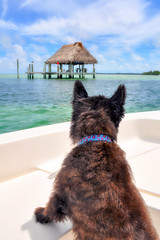Bailey acting as navigator (lawatha) Tags: bailey dog boating florida tampa bay anclote key 4 legged family cairnterrier cairn terrier
