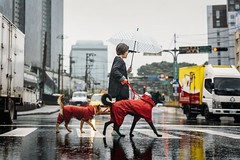 A Jolly Soggy Doggy Day Out (リンドン) Tags: umbrella crossing dog sony a7iii zeiss 55mm taiwan taipei xike rain 雨 台湾 交差点 道 傘 犬 台北