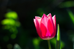 Pink Tulip (Theo Crazzolara) Tags: tulip tulpe spring frühling natural nature garden fresh happy beautiful pink colourful easter morning water drops blossom blooming growth lady elegance light macro closeup love bokeh