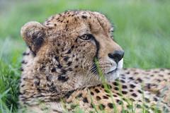 Profile of a cheetah (Tambako the Jaguar) Tags: cheetah big wild cat profile portrait face close lying resting looking calm grass vegetation lionsafaripark johannesburg southafrica nikon d5